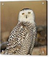 Snowy Owl Female Acrylic Print