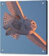 Snowy Owl Flight Acrylic Print
