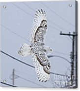 Snowy Owl Glides Into Town Acrylic Print