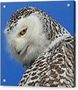 Snowy Owl Greeting Card Acrylic Print by Everet Regal
