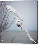 Snowy Owl In Flight Acrylic Print by Carrie Ann Grippo-Pike