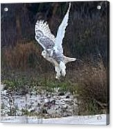 Snowy Owl In Florida 10 Acrylic Print