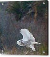 Snowy Owl In Florida 11 Acrylic Print