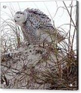 Snowy Owl In Florida 13 Acrylic Print