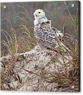 Snowy Owl In Florida 14 Acrylic Print