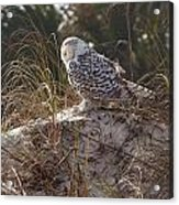 Snowy Owl In Florida 15 Acrylic Print
