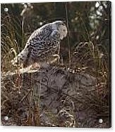 Snowy Owl In Florida 16 Acrylic Print