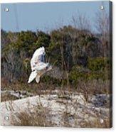 Snowy Owl In Florida 19 Acrylic Print