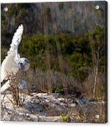 Snowy Owl In Florida 20 Acrylic Print