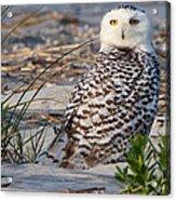 Snowy Owl In Florida 24 Acrylic Print