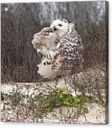 Snowy Owl In Florida 4 Acrylic Print