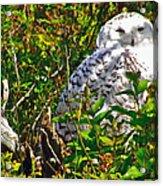 Snowy Owl In Salmonier Nature Park-nl Acrylic Print