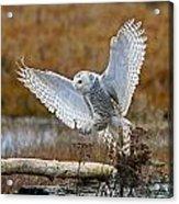 Snowy Owl Landing Acrylic Print