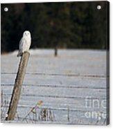 Snowy Owl Landscape Acrylic Print