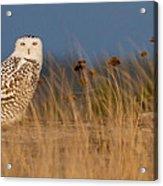 Snowy Owl Morning Acrylic Print