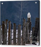 Snowy Owl On A Fence Acrylic Print