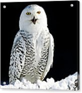 Snowy Owl On A Twilight Winter Night Acrylic Print by Inspired Nature Photography Fine Art Photography