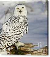 Snowy Owl On A Winter Hunt Acrylic Print