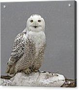 Snowy Owl On An Ice Flow Acrylic Print