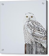 Snowy Owl Perfection Acrylic Print
