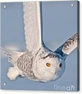 Snowy Owl Pictures 47 Acrylic Print