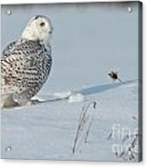Snowy Owl Pictures 53 Acrylic Print