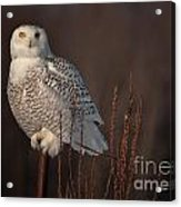 Snowy Owl Pictures 64 Acrylic Print