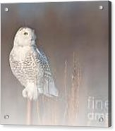 Snowy Owl Pictures 67 Acrylic Print