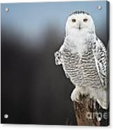 Snowy Owl Pictures 69 Acrylic Print