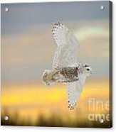 Snowy Owl Pictures 71 Acrylic Print
