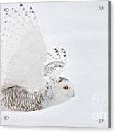 Snowy Owl Pictures 77 Acrylic Print