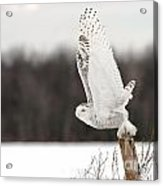 Snowy Owl Pictures 80 Acrylic Print