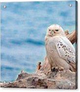 Snowy Owl Resting On Log Acrylic Print