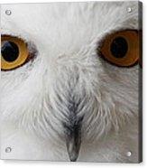 Snowy Owl Stare Acrylic Print