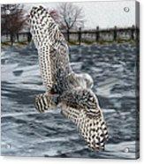 Snowy Owl Wingspan Acrylic Print