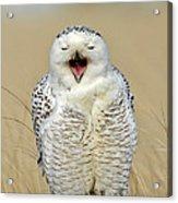 Snowy Owl Yawning Acrylic Print