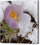 Snowy Pasqueflower Acrylic Print