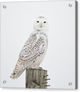Snowy Perched Profile Acrylic Print