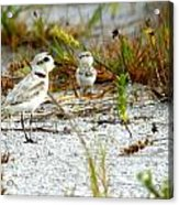 Snowy Plover And Chick Acrylic Print
