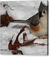 Snowy Titmouse Acrylic Print