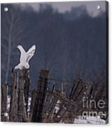 Snowy Wings Up Acrylic Print