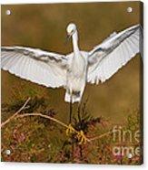 Snowy Wingspread Acrylic Print by Bryan Keil