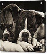Snuggle Bug Boxer Dogs Acrylic Print