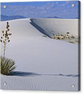 Soaptree Yucca At White Sands Nm Acrylic Print