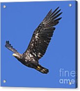 Soar Like An Eagle Acrylic Print