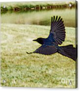 Soaring Boat-tailed Grackle - Glow Acrylic Print by Shawn Lyte
