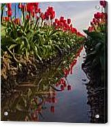 Soaring Crimson Tulips Acrylic Print