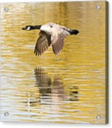 Soaring Over The River Acrylic Print