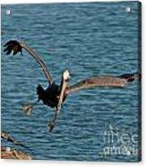 Soaring Pelican Acrylic Print