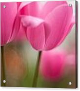 Soaring Pink Tulips Acrylic Print